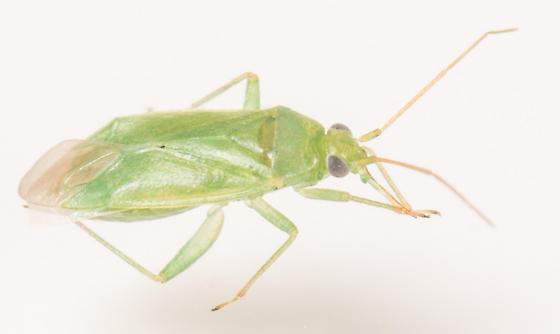 Plant Bug - female