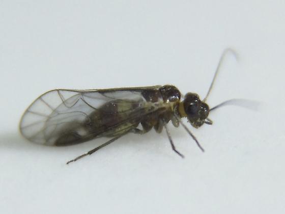 Psocid - Elipsocus pumilis