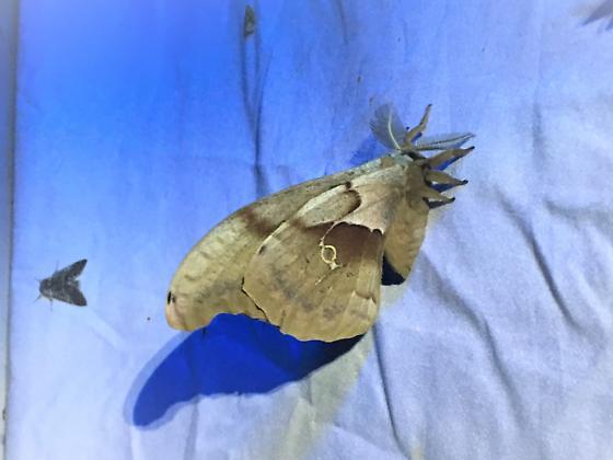Antheraea polyphemus, Polyphemus Moth - Antheraea polyphemus - male