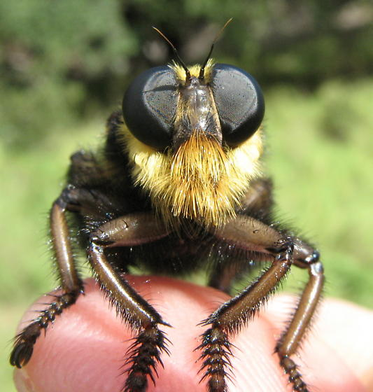 Asilid - Mallophora orcina