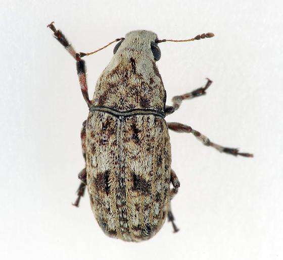 Weevil - Euparius marmoreus