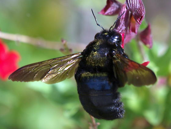 Black Bumble Bee >> Large Black Bumble Bee Not A Black And Gold Something