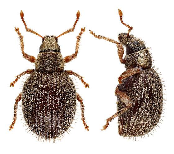 Weevil from  MN - Brachysomus echinatus