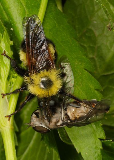 Laphria with huge prey - Laphria thoracica