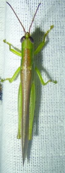 grasshopper? - Stenacris vitreipennis