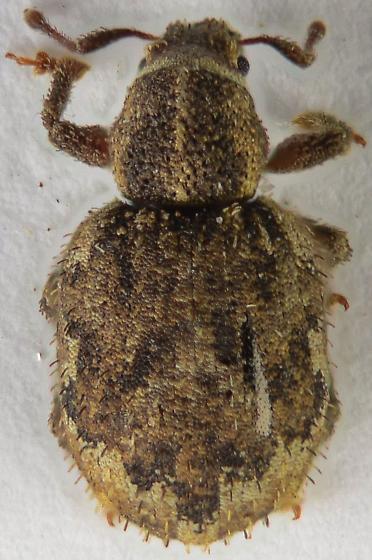 Clover weevil... - Nemocestes horni