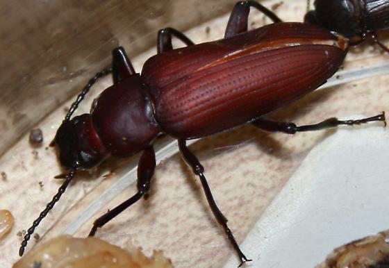 Darkling beetle? - Zophobas atratus