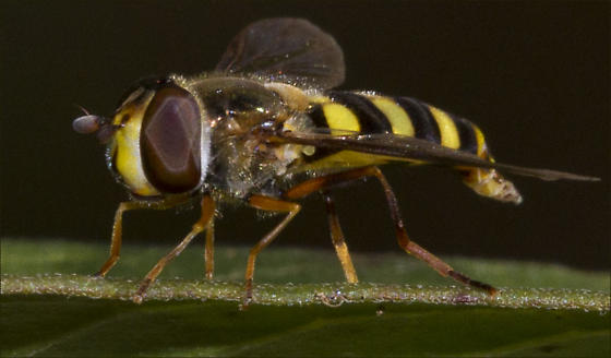 Syrphidae, Q genus, ID please - Eupeodes