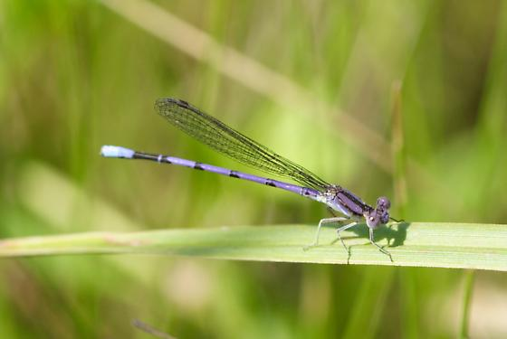 Variable Dancer - Argia fumipennis - male