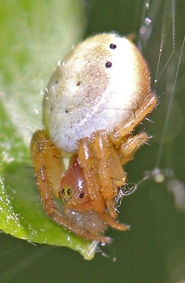 Six-spotted Orbweaver - Araniella displicata? - Araniella displicata