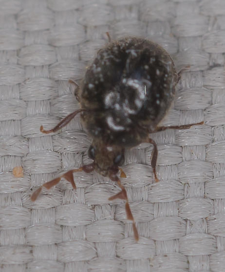 Seed-sized beetle - Caenocara
