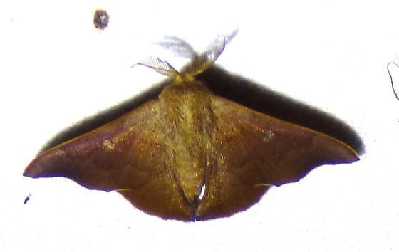 Lacosoma chiridota - Scalloped Sack-bearer - Lacosoma chiridota