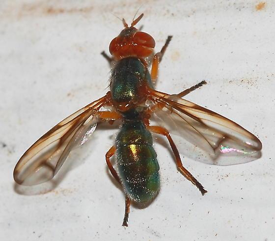 Fly - Senopterina caerulescens