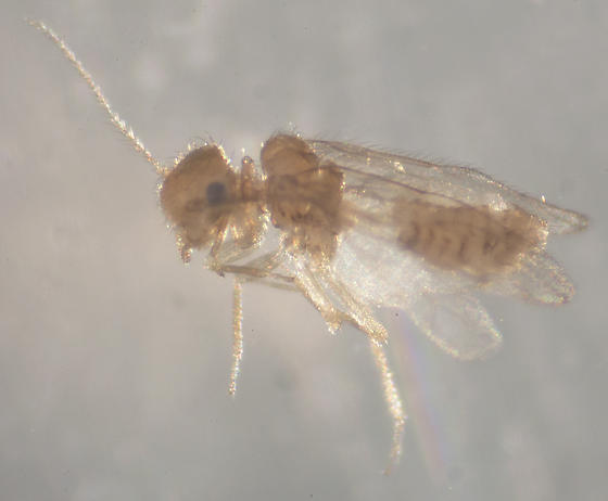Unknown Bark Louse - Pseudocaecilius citricola