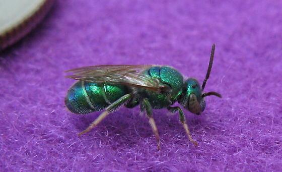 Green bee - Augochloropsis metallica - male