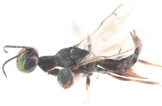 Pteromalidae, dorsal - Oodera