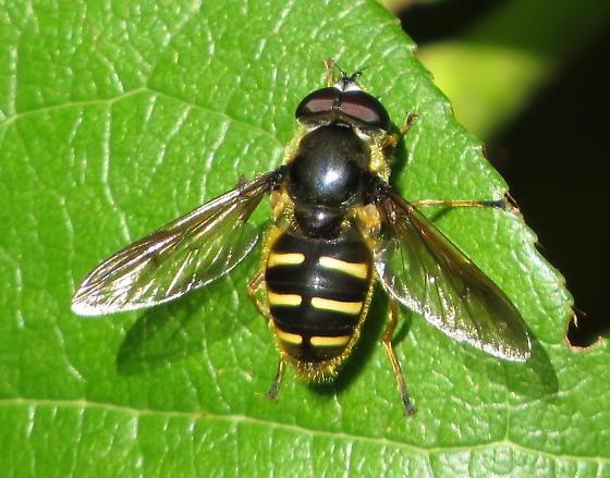 Hover fly - Sericomyia chalcopyga - male