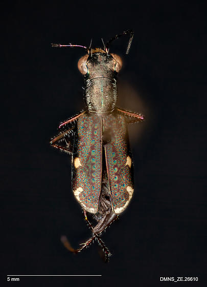 ZE.26610_Cicindela_viridisticta_arizonensis - Brasiella viridisticta - female