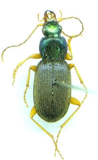 Chlaenius pusillus - male