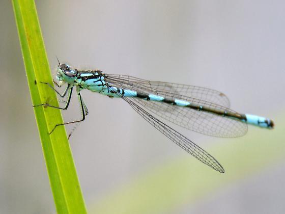 Taiga Bluet - Coenagrion resolutum - male