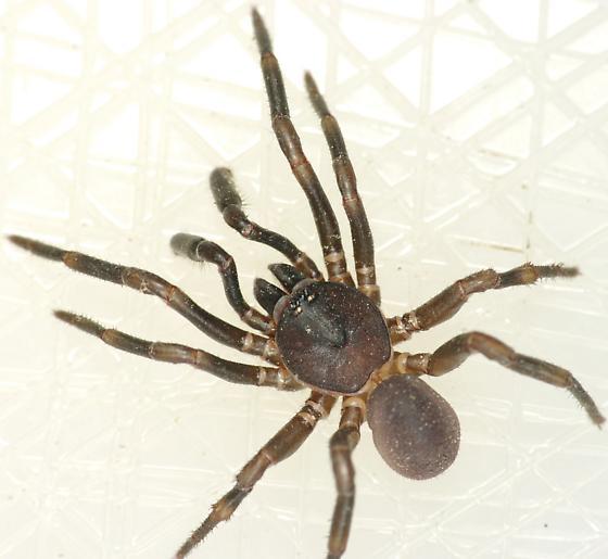 Cork-lid trapdoor spider - Ummidia - male