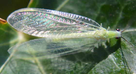 Green Lacewing- Id help - Chrysopa nigricornis