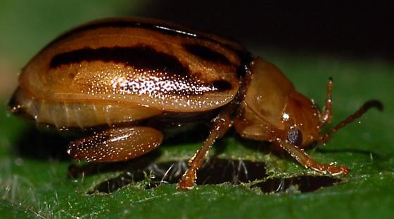 Viburnum chrysomelid - Capraita subvittata