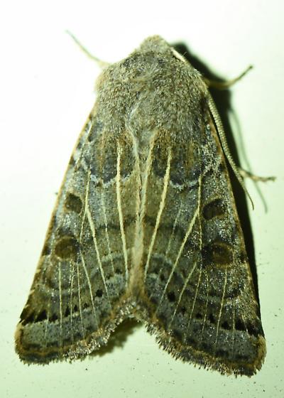 moth - Omphaloscelis lunosa