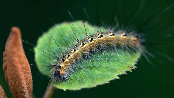 unknown caterpillar - Hyphantria cunea
