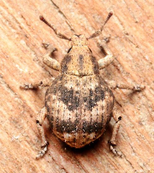 Beetle - Pseudocneorhinus bifasciatus