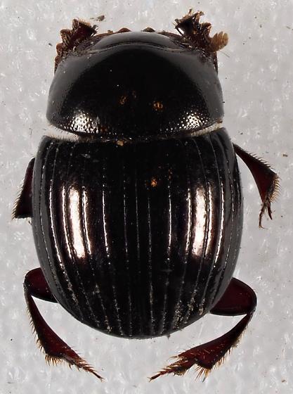 Scarabaeoidea - Ateuchus