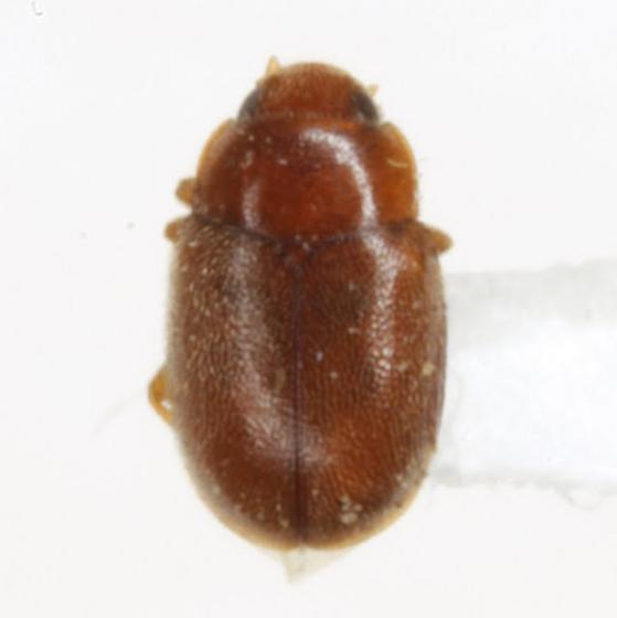 Selvadius sp. - Selvadius