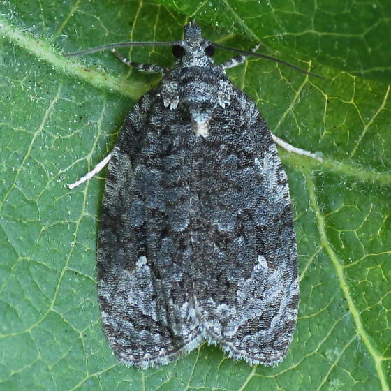 A Tortricid Moth - Apotomis removana