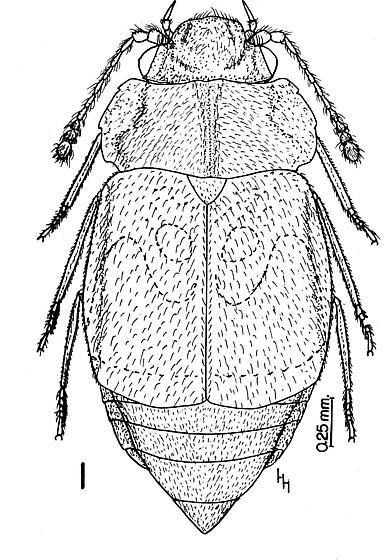 Micropeplus  - Megarthrus pictus