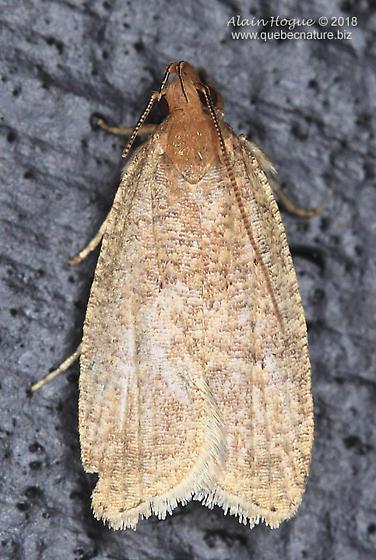 Tortricidae ? - Psilocorsis