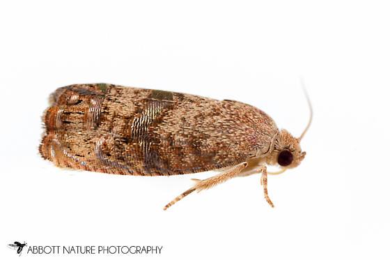 moth - Cydia latiferreana