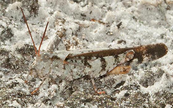 Family Acrididae: Psinidia fenestralis? - Spharagemon marmoratum - male