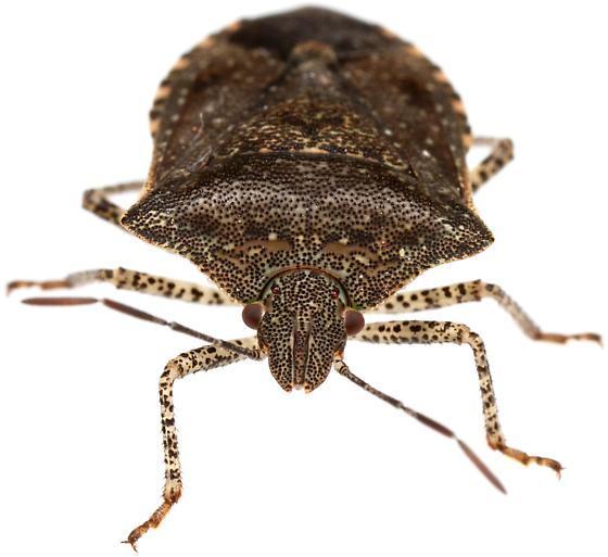 Male, Consperse Stink Bug? - Euschistus
