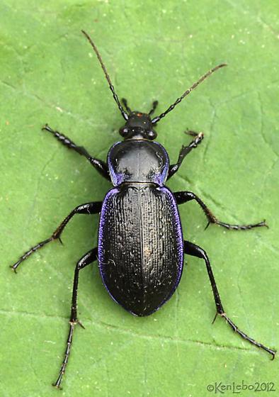 Beetle - Carabus serratus - male