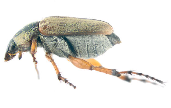Rose Chafer, perhaps subspinosus, lateral - Macrodactylus