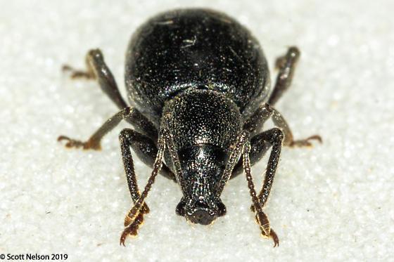 Small Black Weevil - Otiorhynchus meridionalis