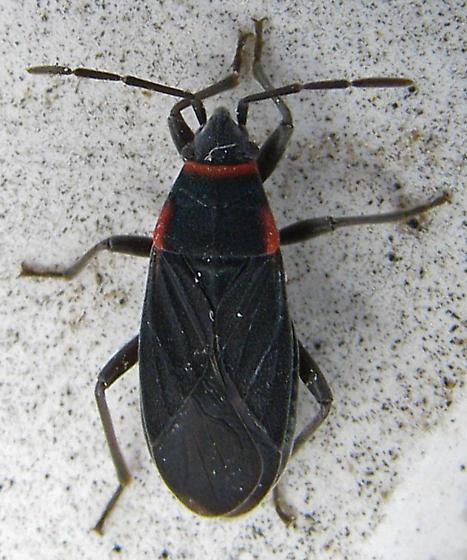ID for Lygaeid in California? - Melacoryphus rubicollis