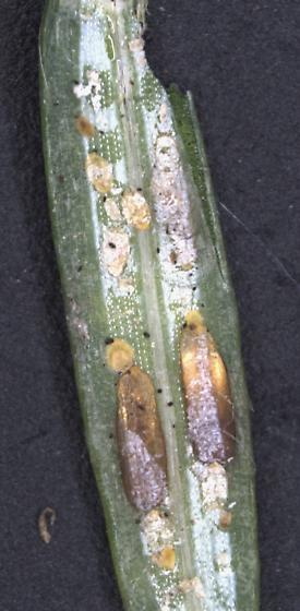 elongate hemlock scale - Fiorinia externa - male - female