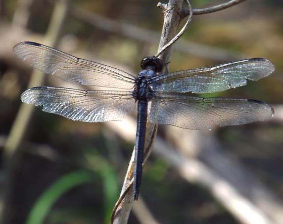 Either Libellula incesta or Erythrodiplax berenice