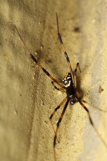 spider with small body but long legs - Latrodectus mactans