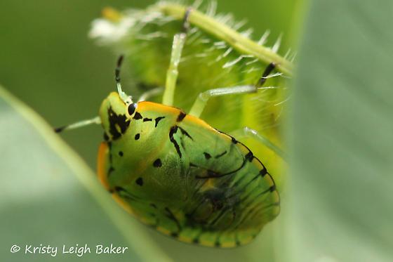 Bug - Stink Bug? - Chinavia hilaris