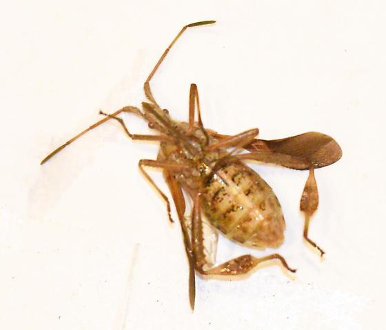 Western Conifer Seed Bug (Leptoglossus occidentalis) - Leptoglossus occidentalis