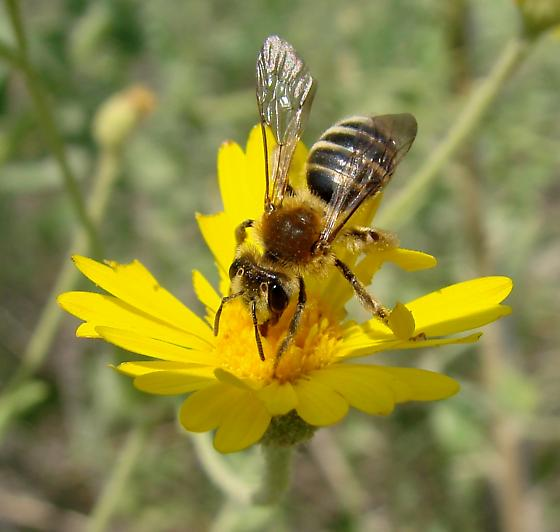 Andrena brooksi - female