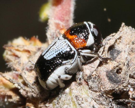 Griburius montezuma