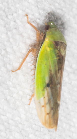 Half-green leafhopper - Ponana pectoralis